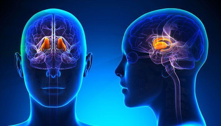 Diencéfalo del cerebro