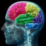 Los cambios evolutivos del encéfalo en el ser humano