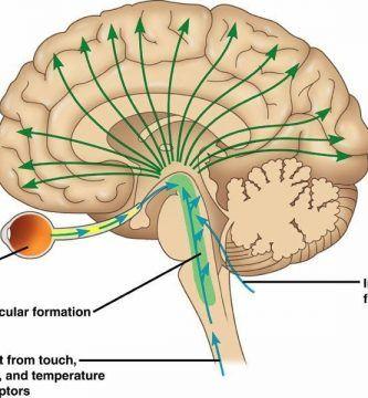 ¿Qué es la Formación reticular?