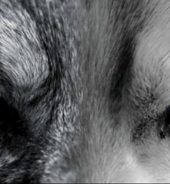 lobo cuento miedo o amor